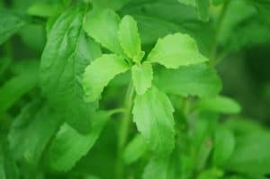 stevia minty cooling effect?